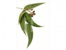 Eukaliptų (Eucalyptus globulus)