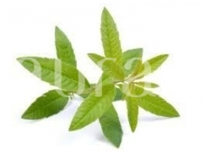 Verbenų (Thymus hiemalis)